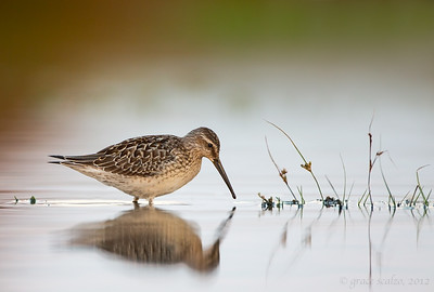 Stilt sandpiper foraging, last light 2012-08-18_untitled_shoot__W2A1738-Edit