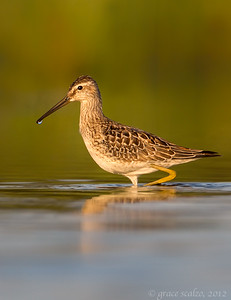 Stilt sandpiper vert 2012-08-18_untitled_shoot__L1G2222-Edit