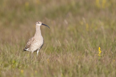 Whimbrel in field