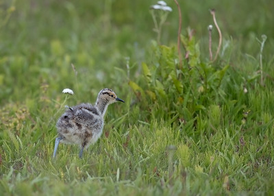 Whimbrel Chick