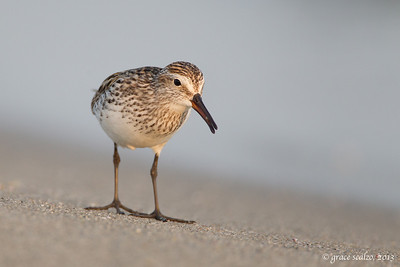 White-rumped Sandpiper with Horse Shoe Crab Egg