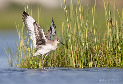 Willet after bath flap