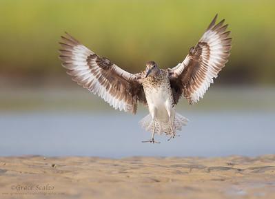 Willet landing on sand spit