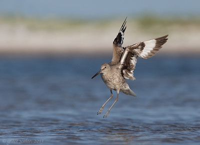 Willet leaping