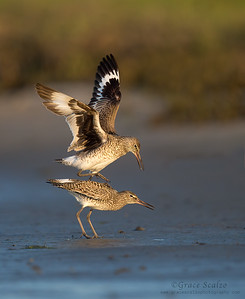 Willets mating