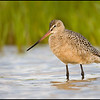Marbled Godwit