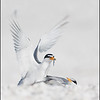Mating Least Terns