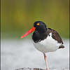 American Oystercatcher