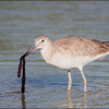 Willet