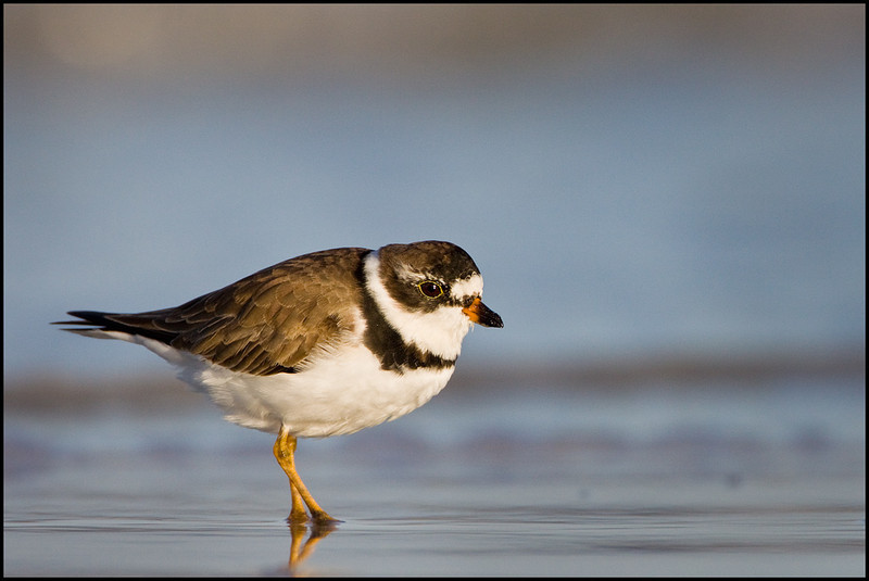 Semi-palmalated Plover