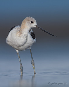 Male American Avocet, molting to winter plumage Conneaut Sand Spit, Ohio