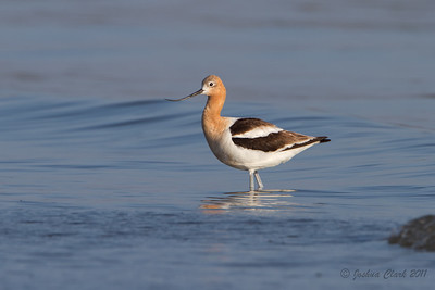 Female American Avocet, breeding plumage Conneaut Sand Spit, Ohio