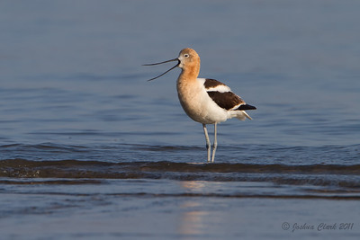 Male American Avocet, breeding plumage Conneaut Sand Spit, Ohio