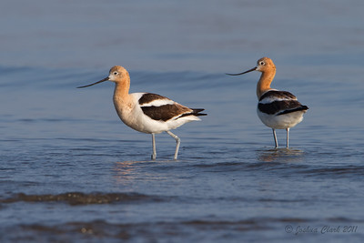 Male and Female American Avocet, breeding plumage Conneaut Sand Spit, Ohio