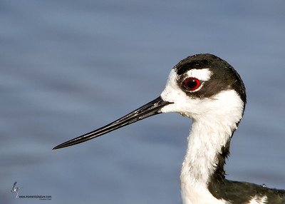Black-necked Stilt Bailey Tract, Florida