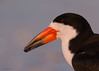 "<center><font face=""Century Gothic"" size=""+1"" color=""#FFFFFF"">Black Skimmer<font face=""Century Gothic"" size=""+1""><center><font color=""#377915"">Indian Shores, Florida</font></center></font></font></center>"