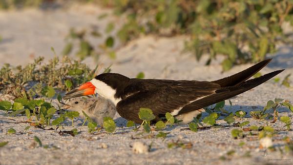 Black Skimmer w/babiesIndian Shores, Florida