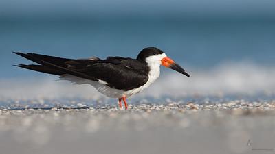 Black SkimmerIndian Shores, Florida