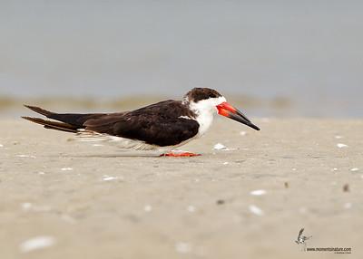 Black Skimmer Bunche Beach Preserve, Florida