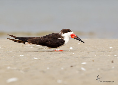 Black Skimmer Bunche Beach Preserve, Florida