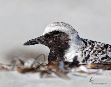 Black-bellied Plover Sanibel Island Beach, Florida