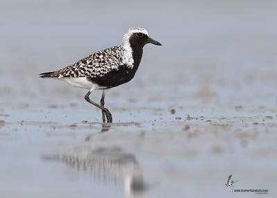 Black-bellied Plover Bunche Beach Preserve, Florida