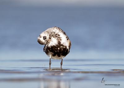 Black-bellied Plover Bunche Beach Preserve, Florida
