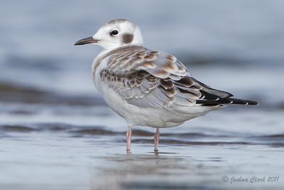 Juvenile Bonaparte's Gull Conneaut Sand Spit, Ohio