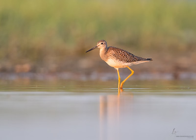 Greater Yellowlegs Conneaut Sand Spit, Ohio