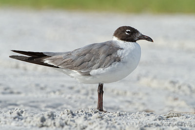 Laughing Gull (winter plumage) Fort de Soto, Florida