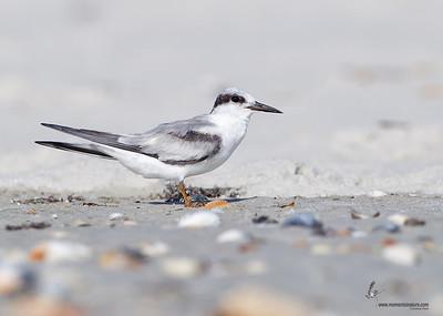 Least Tern (first winter) Flagler Beach, Florida