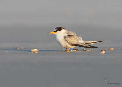 Least Tern (1st summer)Summer Haven, Florida