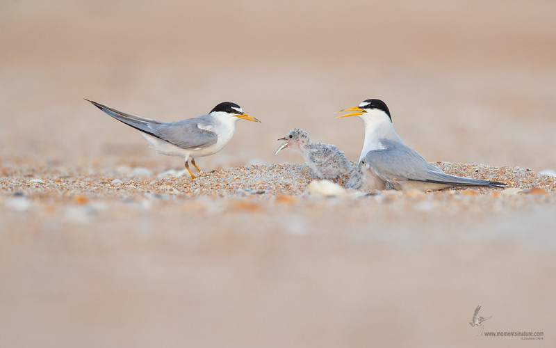"<center><font face=""Century Gothic"" size=""+1"" color=""#FFFFFF"">Least Tern with baby</font></center><font face=""Century Gothic"" size=""+1"" color=""#3366FF""><center><font color=""#377915"">Flagler Beach, Florida</font></center></font>"
