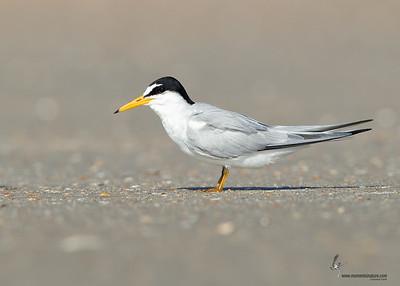 Least Tern Flagler Beach, Florida