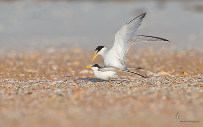 Least Terns copulatingSummer Haven, Florida
