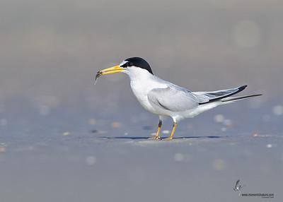 Least Tern courthship Flagler Beach, Florida