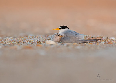 Least Tern with babyFlagler Beach, Florida
