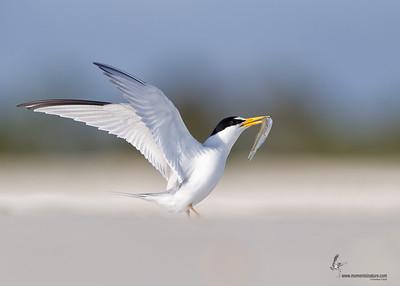 Least Tern courtship Flagler Beach, Florida