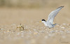 "<center><font face=""Century Gothic"" size=""+1"" color=""#FFFFFF"">Least Tern and Ghost Crab skirmish</font></center><font face=""Century Gothic"" size=""+1"" color=""#3366FF""><center><font color=""#377915"">Flagler Beach, Florida</font></center></font>"