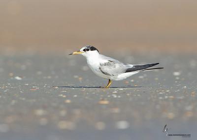 Least Tern (first summer) Flagler Beach, Florida
