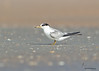 "<center><font face=""Century Gothic"" size=""+1"" color=""#FFFFFF"">Least Tern (first summer) <font face=""Century Gothic"" size=""+1""><center><font color= #377915>Flagler Beach, Florida"
