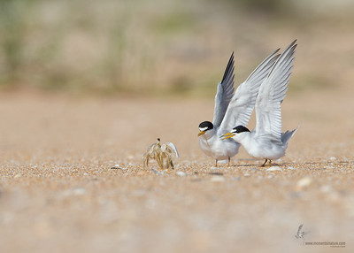 Least Tern and Ghost Crab skirmishFlagler Beach, Florida