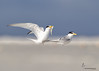 "<center><font face=""Century Gothic"" size=""+1"" color=""#FFFFFF"">Least Tern courtship <font face=""Century Gothic"" size=""+1""><center><font color= #377915>Flagler Beach, Florida"