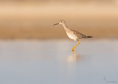 Lesser Yellowlegs Conneaut Sand Spit, Ohio