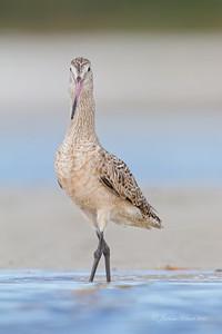 Marbled Godwit San Carlos Bay Bunche Beach Preserve, Florida