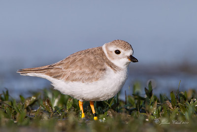 Piping Plover San Carlos Bay Bunche Beach Preserve, Florida
