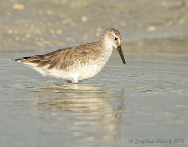 Red Knot (winter plumage) Fort de Soto, Florida