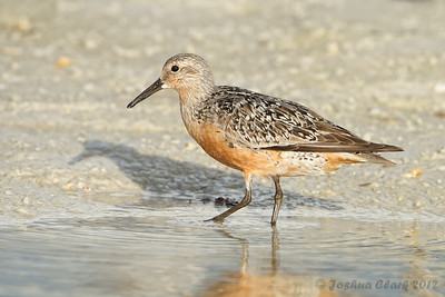 Red Knot Fort de Soto, Florida