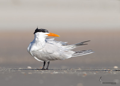 Royal Tern Flagler Beach, Florida