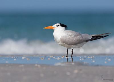 Royal TernIndian Shores, Florida